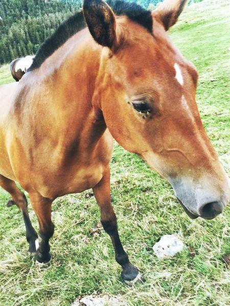 Horse Jura