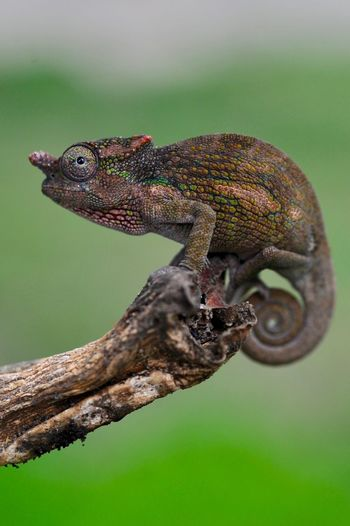 Close-up of a chameleon in our garden, arusha, tanzania.