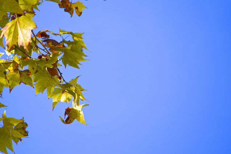Autumn. A branch with maple leaves that change color to yellow against a clean blue sky. Plant Part Leaf Sky Low Angle View Blue Autumn Change Plant Growth Nature No People Tree Clear Sky Beauty In Nature Yellow Branch Copy Space Day Maple Tree Maple Leaf Outdoors Leaves Natural Condition Focus Maple Maple Leaves Copy Space Copy Space In Sky Frame