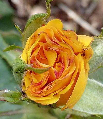 Flower Head Petal Beauty π Garden Biology Roses🌹 Fragility Beautiful Flowers 🌸 Rose🌹 Yellow π