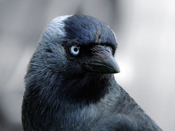 close up portrait of a jackdaw with head filling the frame looking at the camera with blue eyes on a light background Animal Eye Animal Head  Beak Bird Black Color Close-up Crow Focus On Foreground Jackdaw Looking Portrait