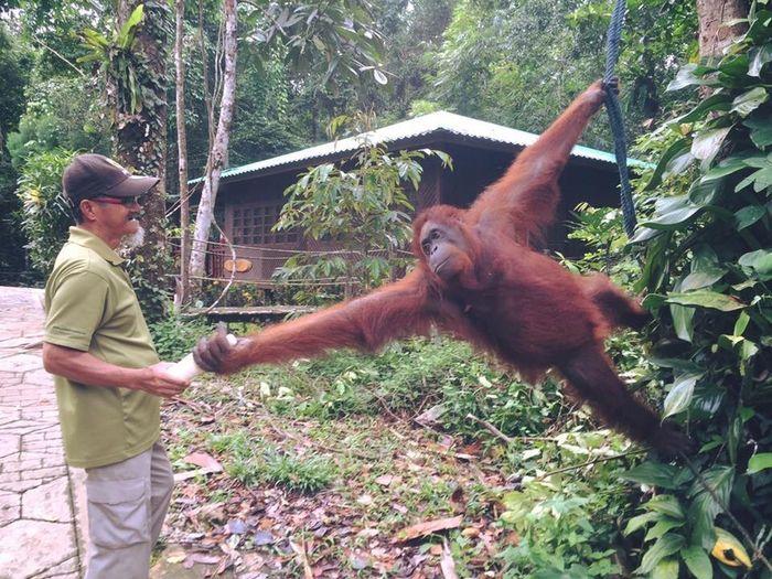 Human bond with wildlife Semenggohwildlifecentre Sarawak Borneo Seduku Plant Primate Animal Wildlife Tree Real People Animals In The Wild Nature One Animal People Ape Outdoors