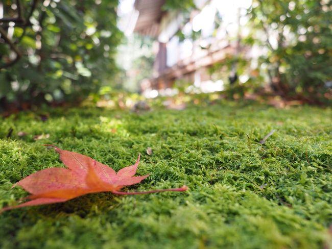 Kyoto Japan Kouetsuji Temple Autumn Momiji Leave Moss Beauty In Nature Olympus PEN-F 京都 日本 光悦寺 寺 秋 紅葉 もみじ 苔 葉
