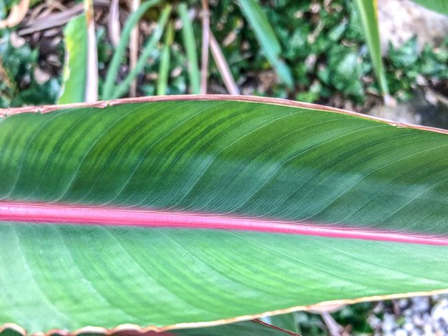 hot pink vein in a large tropical waxy leaf Palm Leaf Pink Plant Shade Textured  Veins In Leaves Waxy Bird Of Paradise Plant Close-up Day Freshness Green Color Jungle No People Pattern Tropical Plants Waxy Leaf