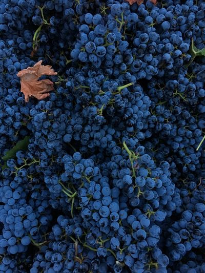 Growth Grape Plant Nature Fruit Bunch Freshness Leaf Blue Vine - Plant Vineyard Food And Drink Winemaking Agriculture No People Outdoors Close-up