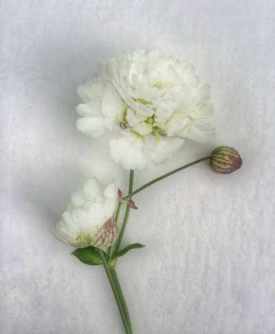 Flower White White Flowers Stem Shapes And Forms Clean Background Green color Bud