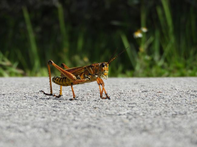 Curious little buddy 😍🦗 Southeastern Lubber Grasshopper Grasshopper Everglades  Hiking Trail South Florida Nature Photography Nature Trail EyeEmNewHere EyeEm Nature Lover EyeEm Selects One Animal Animal Themes Animal Selective Focus Animals In The Wild Animal Wildlife No People Insect Side View Invertebrate Outdoors Close-up Nature