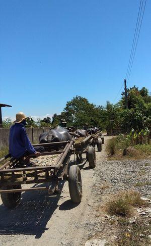 under the scorching heat.. Carabao Farmer Farming EyeemPhilippines EyeEmNewHere Mobilephotography Vivo Farming Men Headwear Working Sky Farm Worker Harvesting