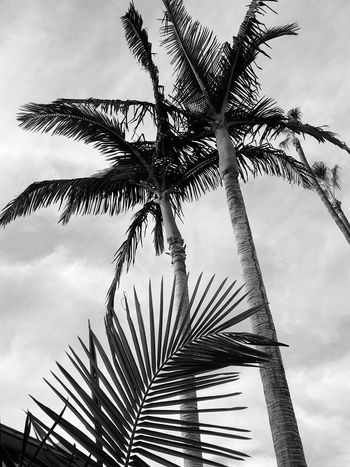 Just another winter's day in Hollywood (b&w); Palm Tree Low Angle View Tree Sky Cloud - Sky Outdoors Day Palm Frond No People Growth Nature Tree Trunk Branch Beauty In Nature Close-up Urban Forest Beauty In Nature Hollywood IPhoneography