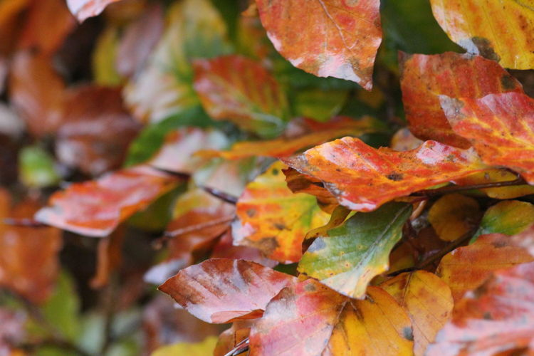 Hedgegerow Hedge Hedgerow Leaves Leaf Autumn Change Plant Part Orange Color Close-up Beauty In Nature No People Nature Day Plant Full Frame Maple Leaf Selective Focus Outdoors Focus On Foreground Tree Growth Dry Autumn Collection Fall Natural Condition