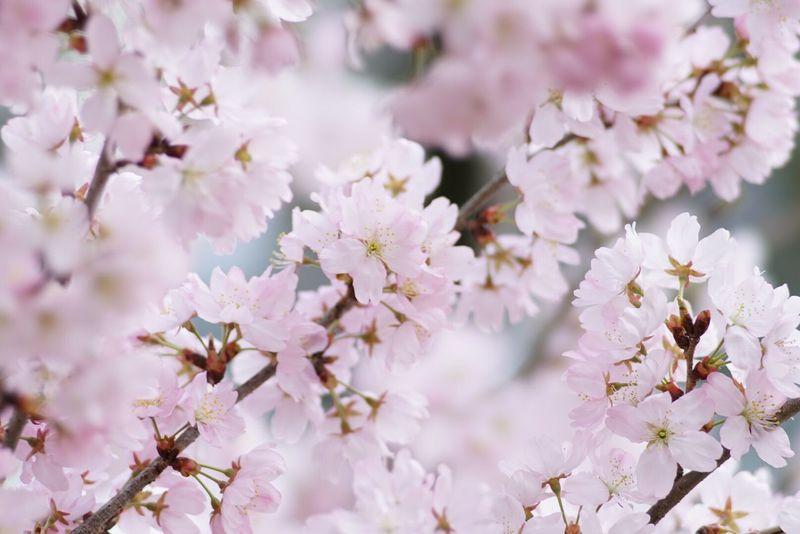 Relaxing Taking Photos Spring Is Coming  Cherry Blossoms DSLR Sakura2016