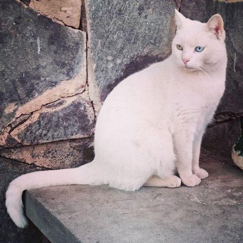 Белый кот с разноцветными глазами.