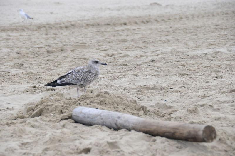 Möwe Animal Animal Themes Animal Wildlife Animals In The Wild Beach Bird Day Land Nature No People One Animal Outdoors Perching Sand Sea Seagull Selective Focus Vertebrate Water