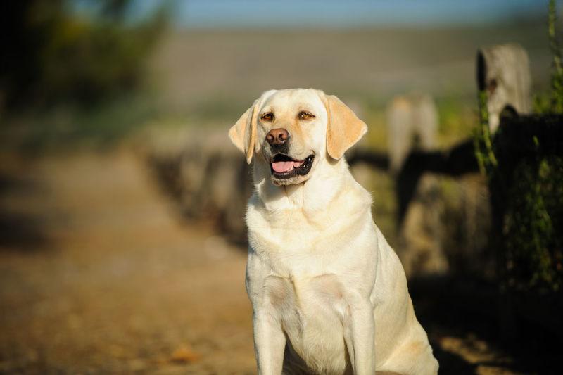 Labrador retriever standing on field
