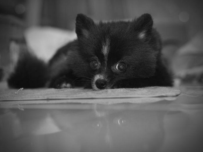 Pomeranian Cute Dog  Domestic Dog Looking At Camera Laying Down Pet Portraits