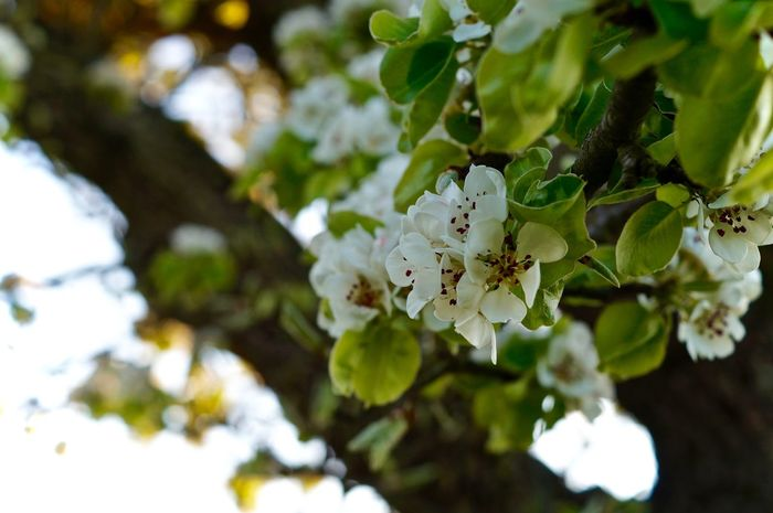 Animal Themes Apple Blossom Beauty In Nature Blooming Blossom Branch Close-up Day Flower Flower Head Fragility Freshness Growth Nature No People Outdoors Petal Springtime Tree White Color