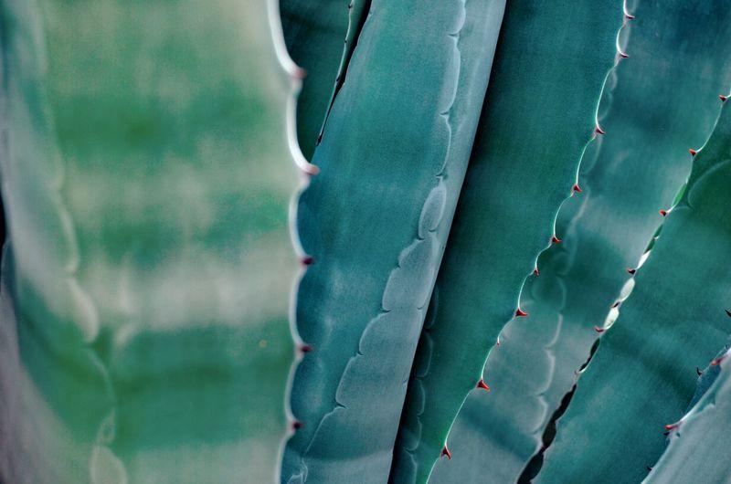 Cactus Cactus Plant Cactus Leaf Green Color Tourquise Color Backgrounds Full Frame Close-up Barrel Cactus Succulent Plant Prickly Pear Cactus Saguaro Cactus