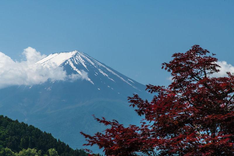 Mount Fuji Tree
