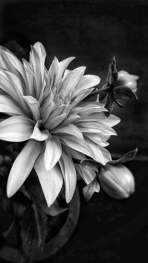 DAHLIA IN SPRING Black And White Classics Black And White Photography Beauty In Nature Art is Everywhere Artistic Gpmzn Thing Of Beauty The Freshness Of Dawn Wallpaper Flower Head Flower Petal Close-up Plant In Bloom Plant Life Blooming Blossom Dahlia