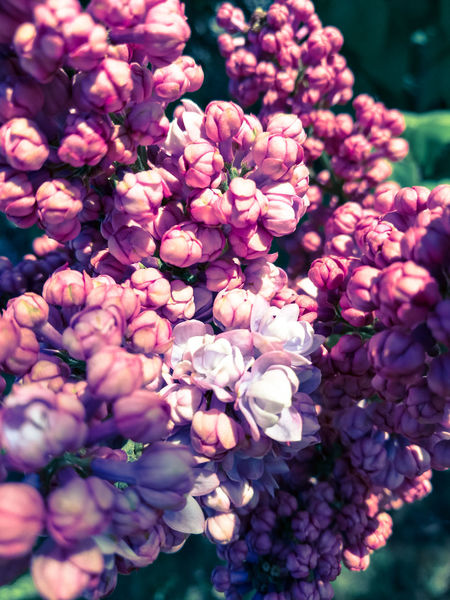 Flower Freshness Nature Fragility Close-up Growth Beauty In Nature Pink Color Petal No People Outdoors Day Flower Head EyeEmNewHere Huawei P9 Photos HuaweiP9Photography Beauty In Nature Plant Nature Blossom Millennial Pink Colors Pink Flower 🌸 Violet Flowers Plants 🌱
