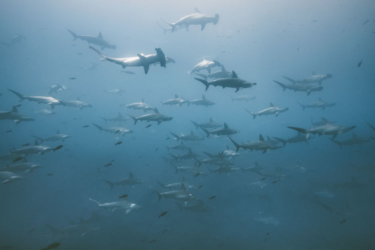 Underwater Fish Animal Themes Animal Animals In The Wild Group Of Animals Sea Vertebrate Animal Wildlife UnderSea Large Group Of Animals Swimming Sea Life Marine Water School Of Fish Shark No People Nature
