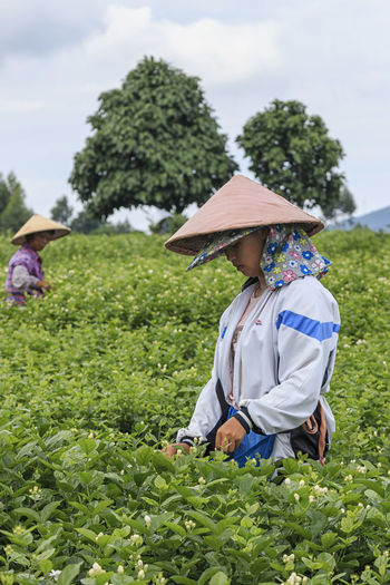 HengXian, China - August 10, 2017: Woman picking Jasmine Flowers in a Jasmine Plantation in HengXian, the Chinese capital of Jasmine ASIA Guangxi Jasmine Nanning Tea Agriculture Beauty In Nature Bloom Blooming China Day Field Flowers Growth Hengxian Jasmine Flower Jasmine Tea Lifestyles Nature Outdoors Real People Women