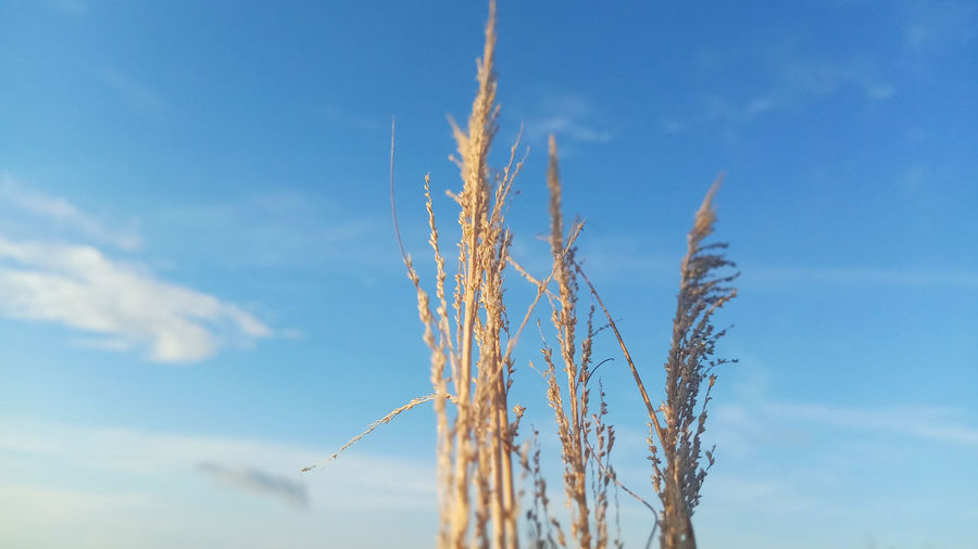 Low angle view of stalks against blue sky