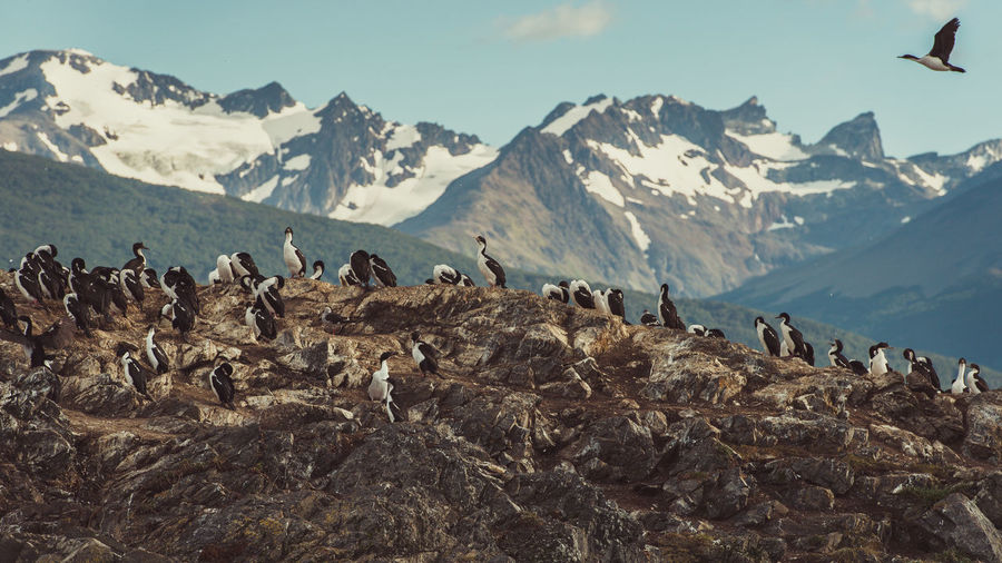 Birds Perching On Rock Against Snowcapped Mountains