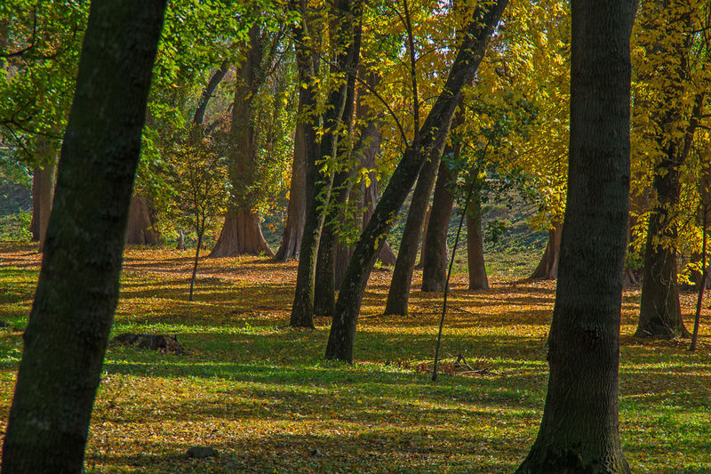 Gold, green and brown autumn scene, trees with golden and yellow leaves Plant Tree Beauty In Nature Growth Tranquility Tranquil Scene Nature No People Scenics - Nature Day Outdoors Fall Autumn Season  Mood Change Forest WoodLand Sunlight Grass Park Landscape Environment Leaf Idyllic