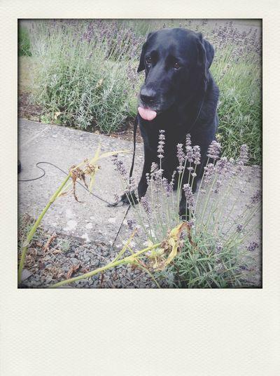 Henry old man Labrador Pet Dog
