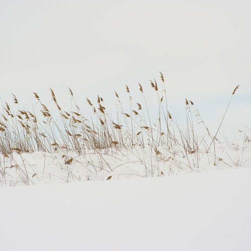 Plants on field against clear sky during winter