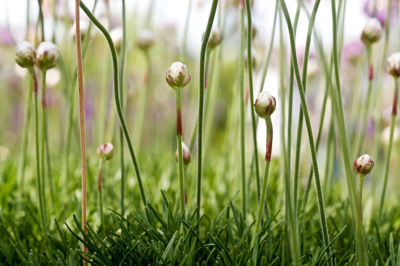 Close-up of flower buds on grass