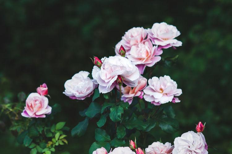 Elegant pink roses in the garden - distant drums rose flowers against dark green leaves