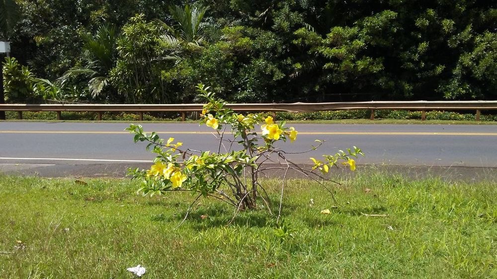 Beauty By The Street Flowers, Nature And Beauty Amapola #Flower Beauty Of Hawai'i