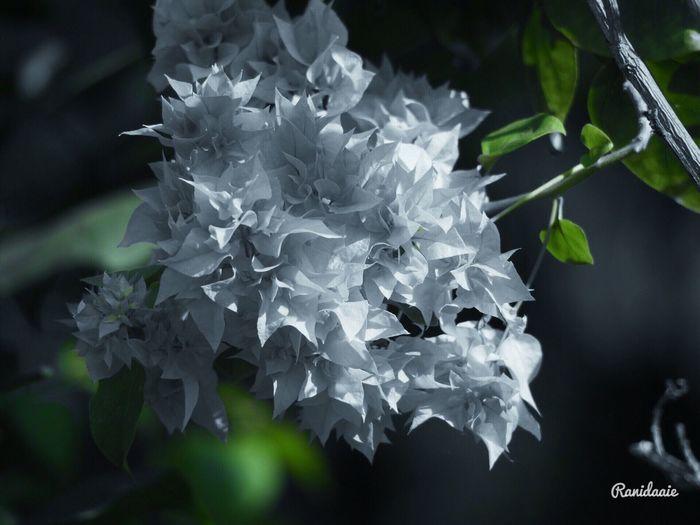 บางสิ่ง(Something)...💦 09/07/2017 Beauty In Nature Nature Flower Close-up Nature Snepseed Color Photography เฟื่องฟ้าBougainvillea