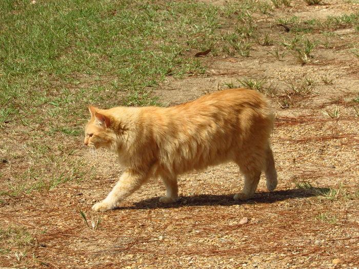 ginger manx cat