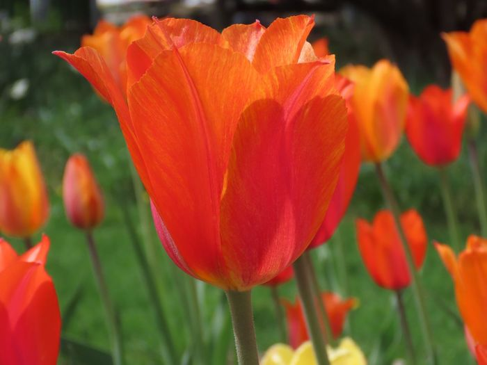 Tulips 🌷 field of orange color flowers focus on the foreground beauty in nature close up outdoors Flower Fragility Freshness Orange Color No People