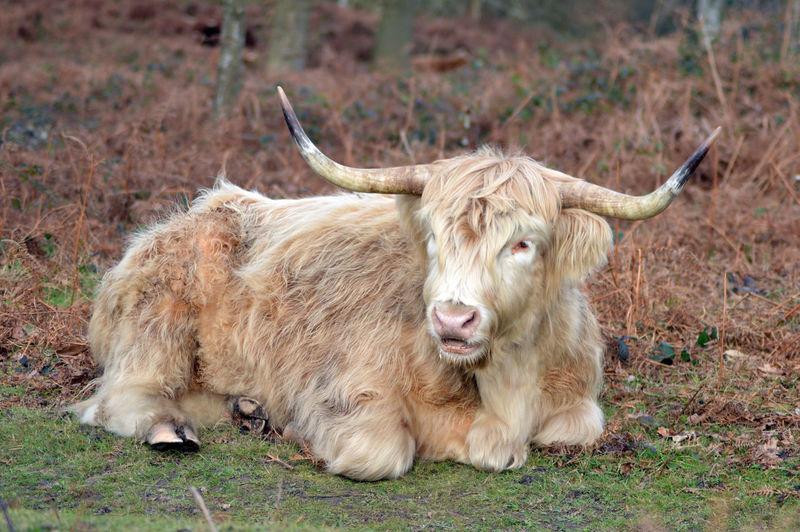 Portrait of cow relaxing on field