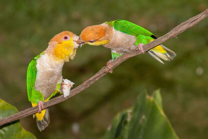 Animal Themes Animal Wildlife Animals In The Wild Bird Branch Close-up Day Nature No People One Animal Outdoors Perching Pionites Leucogaster White-bellied Caique White-bellied Parrot