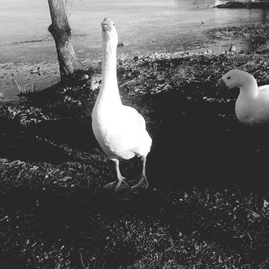 Quack quack Geese Feeding Animals Lake