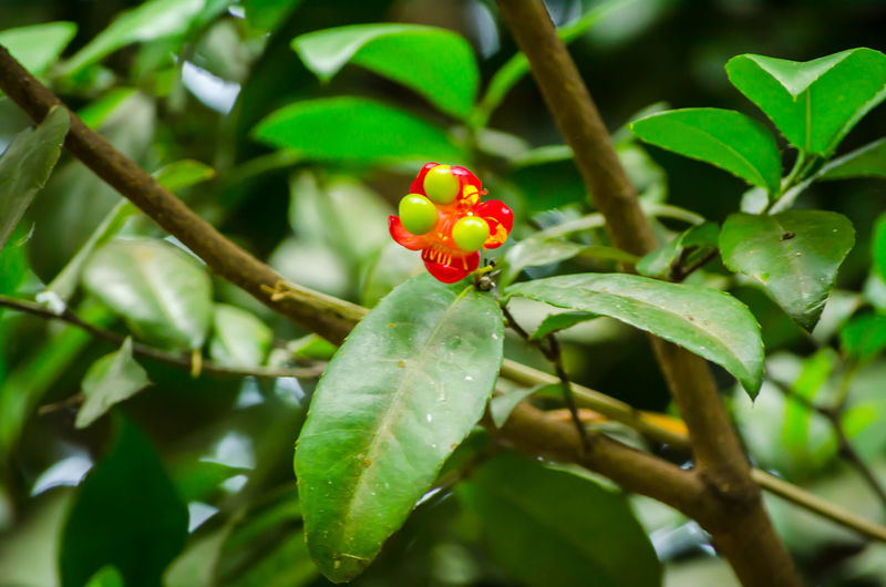 Mickey mouse plant red flower with its green seeds in a spring season at a botanical garden. Red Seeds Beauty In Nature Botanical Close-up Day Freshness Garden Green Color Growth Leaf Mickey Mouse Plant Nature Outdoors Patel Plant Red