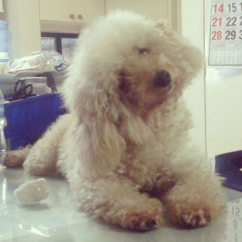 calling her name :)) Jabá Poodle Dog Pet cute