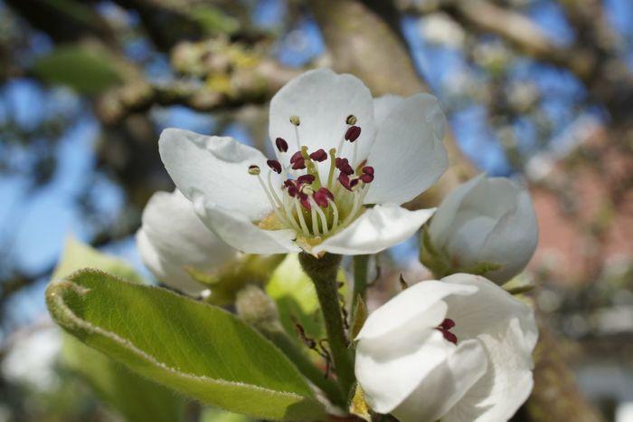 Pear Blossom Check This Out Garden Photography Tree Blossom Springtime Spring Flowers Close-up Blue Sky