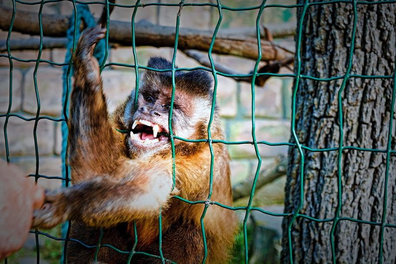 28 days later 😨😲😵😒😬😈 Animals In Captivity Cage Zoo One Animal Animal Themes Mammal Monkey Close-up Nature Outdoors Day Angry Rageface Rage Dangerous Chainlink Fence