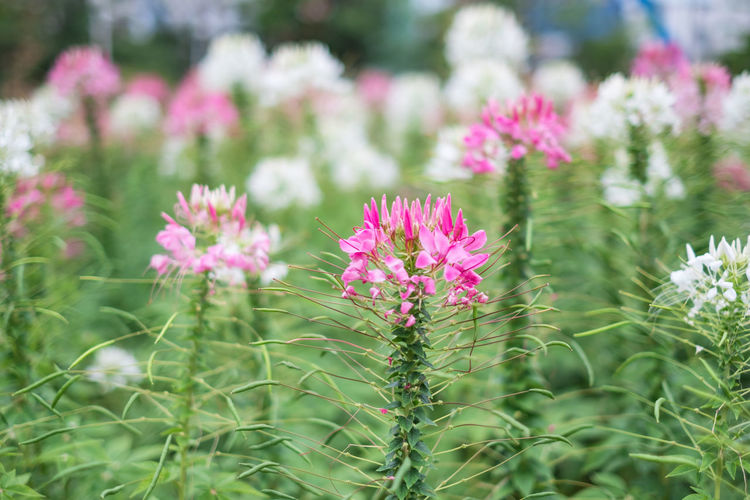 spider flower garden are beautiful nature vegetation. and suitable to do texture. Spider Flower Leaves Garden Green Backgrounds Outdoors Beautiful Park Nature Summer Leaf Spring Pink Flora Color Closeup White Natural Fresh Colorful Bright Plant Flowers Season  Floral Detail Bloom Botanical Growth Decoration Landscape Wildflower Autumn Blossom Petal Gardening Blooming Growing Tree Cleome Pretty Love Textured  Flowering Plant Beauty In Nature No People Flower Head Pink Color Focus On Foreground