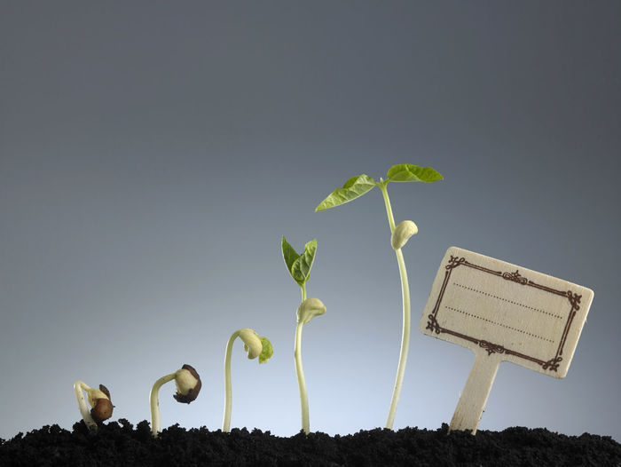 Growing plant in sequence isolated on gray background. Agriculture Growing Growth Life Nature New Life Origins Plant Sapling Seed Bean Beginnings Development Information Leaf Macro No People Plant Part Plant Stem Plantation Progress Root Seedling Soil Still Life