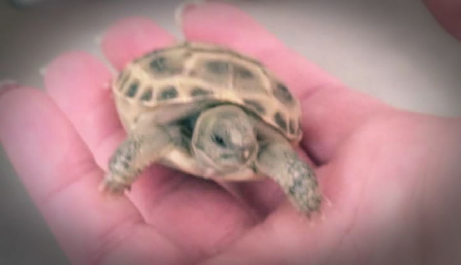 Things I Like i like babies, doesnt matter what it is. if its a baby i get goo goo ga ga. Taking Photos Reptiles Baby Tortise Babies Tiny Tortise In The Palm Of My Hand Adorable Life Home Is Where The Art Is Baby Tortoises Indoors  Riverside California Colour Of Life Maximum Closeness