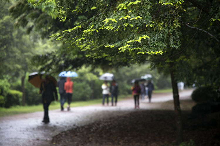 rainy day of Bijarim which is a famous forest in Jeju Island, South Korea Beauty In Nature Bijarim Day Forest Growth JEJU ISLAND  Men Nature Outdoors People Rainy Real People Tree Walking Women