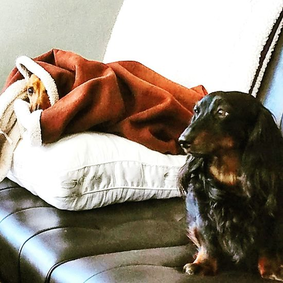 Frankie and Doodle Dachs. Rochester, NY Dachshund
