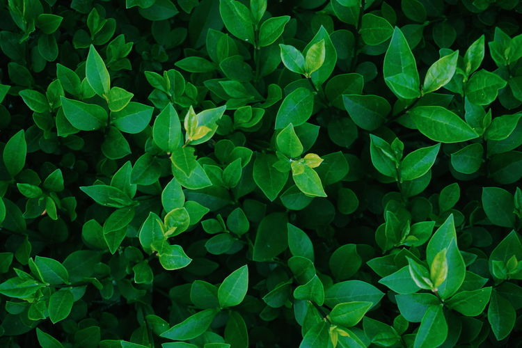 top view of green leaves Leaf Leaf Vein Leafs Leaves Leave Green Color Green Greenery Backgrounds Background Background Texture Science Microbiology Leaf Biology Backgrounds Plant Part Living Organism Full Frame Close-up Plant Botany